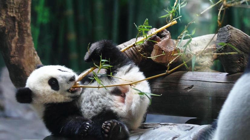 В Китае детёнышам гигантской панды запретили предсказывать результаты матчей ЧМ-2014