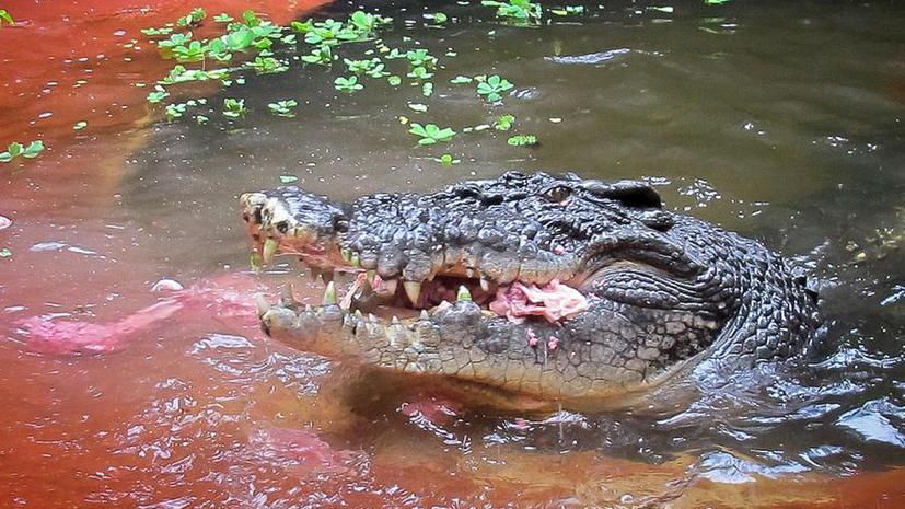 В Индонезии гигантский крокодил решил позагорать вместе с отдыхающими