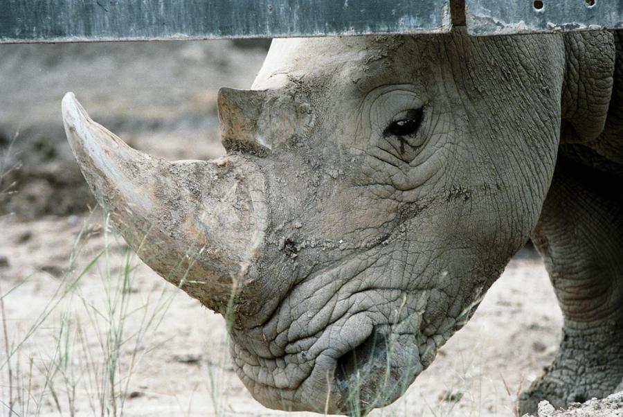 На Урале нашли останки древнего носорога, которым около 120 тыс. лет