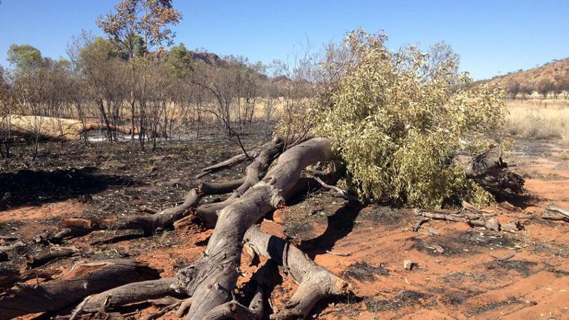 В Австралии сожжены священные «эвкалипты-призраки»