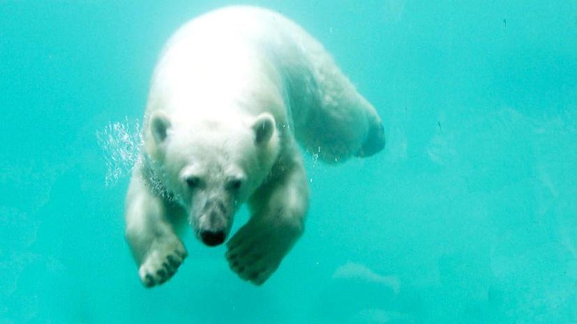 Канадские законы поставили под угрозу выживание белых медведей