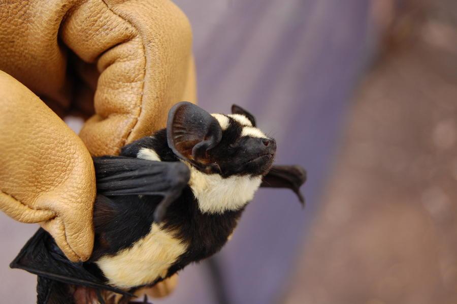 Маленькая крылатая панда: ученые обнаружили новый вид летучей мыши