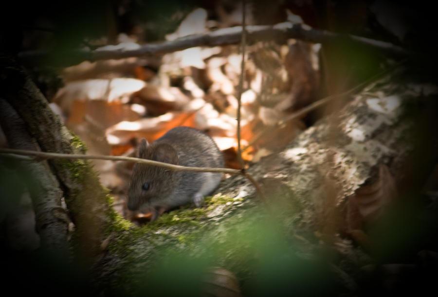 На остров Гуам высадился мышиный десант для борьбы со змеями