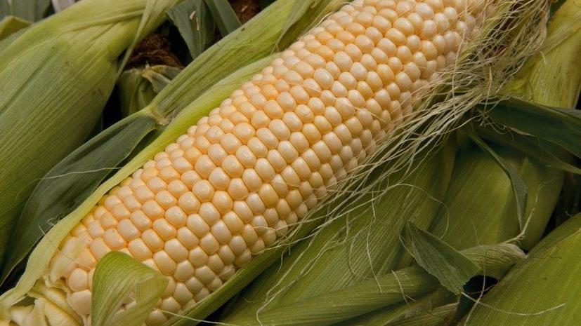 Кукуруза-франкештейн начала приносить страдания фермерам