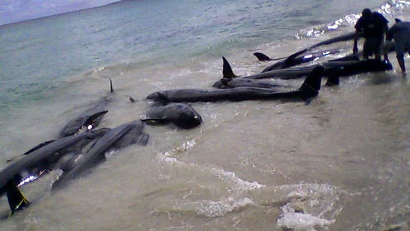 Морской «суицид»: в Австралии на берег выбросилось около 100 дельфинов