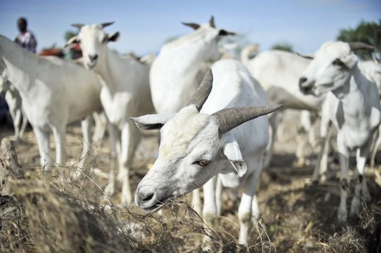 В Индии по подозрению в порче имущества задержали трёх козлов