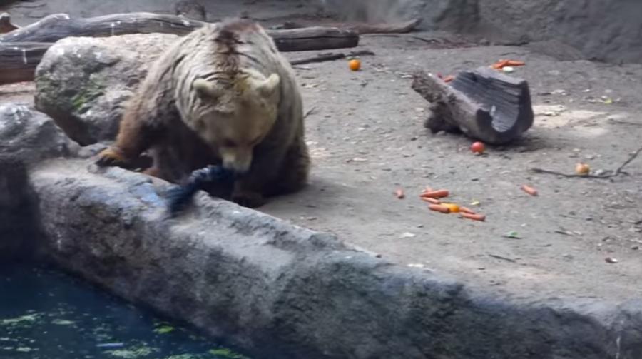 Медведь спас от гибели тонущую ворону в зоопарке Будапешта