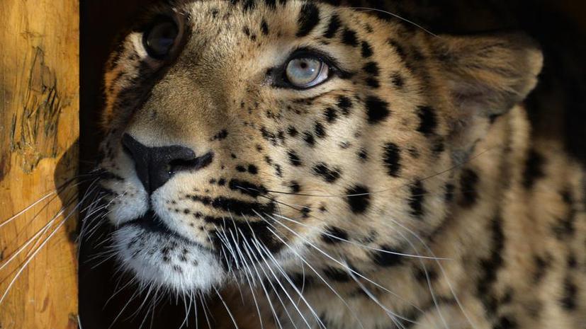 «Хранители земли леопарда»: фильм о диких кошках и их защитниках на RT