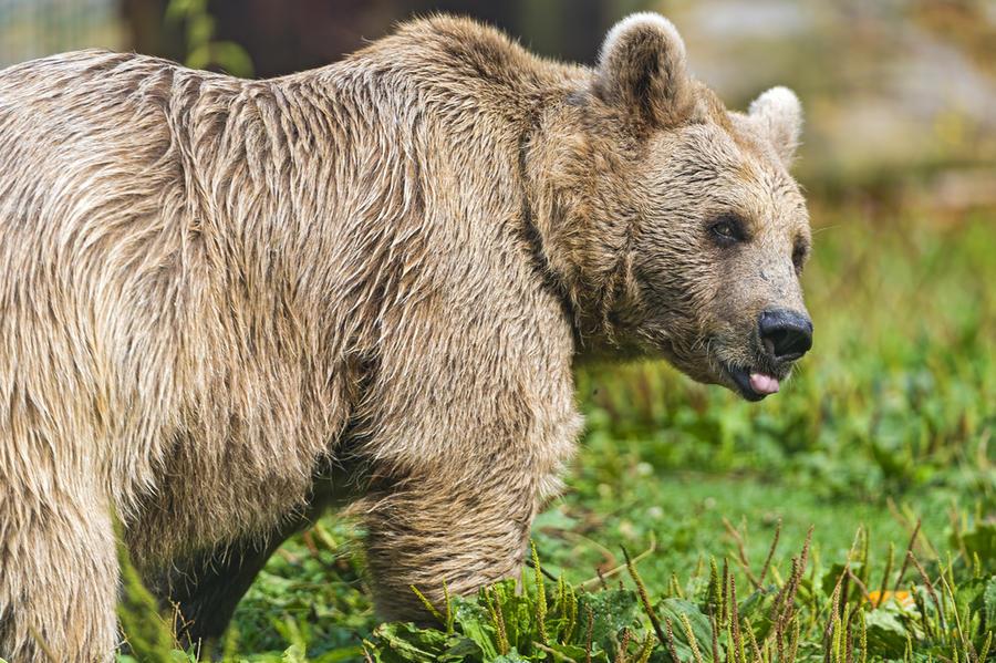 Италия и Швейцария поссорились из-за медведя