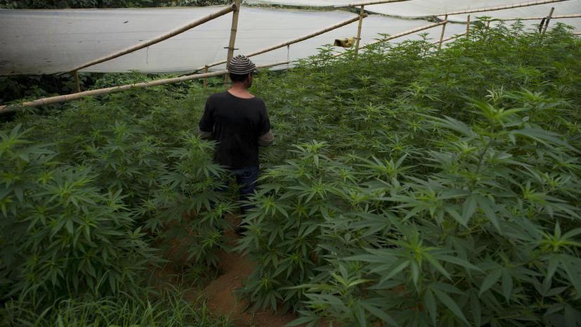 Monsanto планирует запатентовать бренд генетически модифицированной  марихуаны в Уругвае