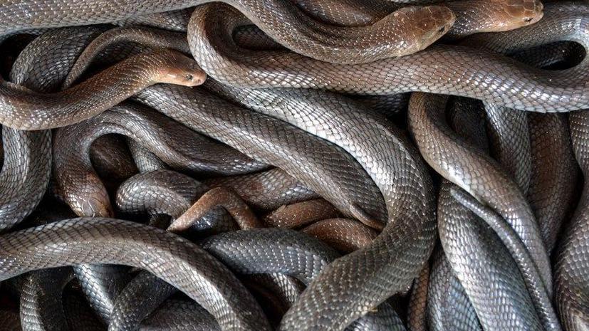 Американский пастор требует вернуть змей в церковь