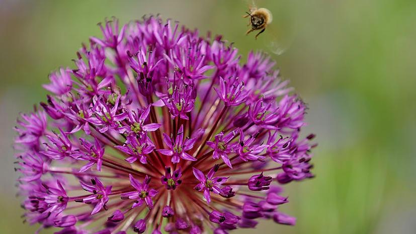 Пчелы используют электричество, чтобы находить лучшие цветы
