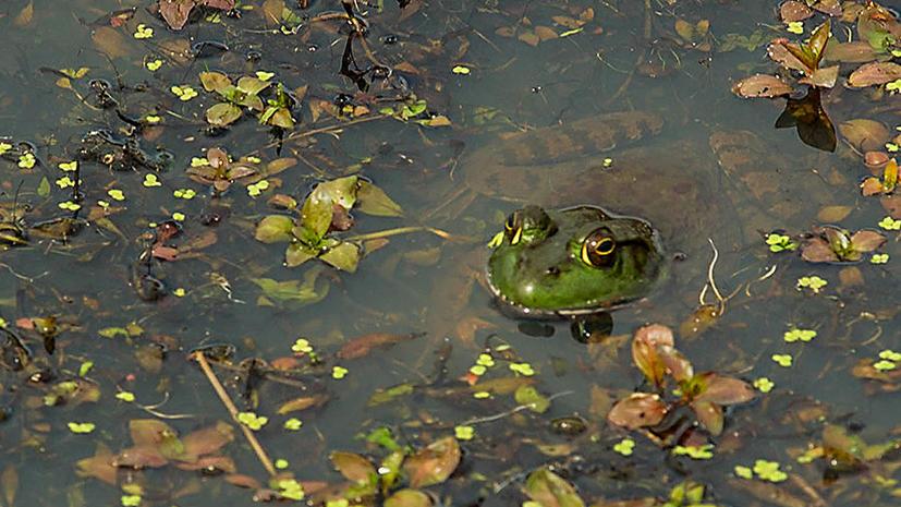 Исследование: пестициды истребляют популяцию лягушек