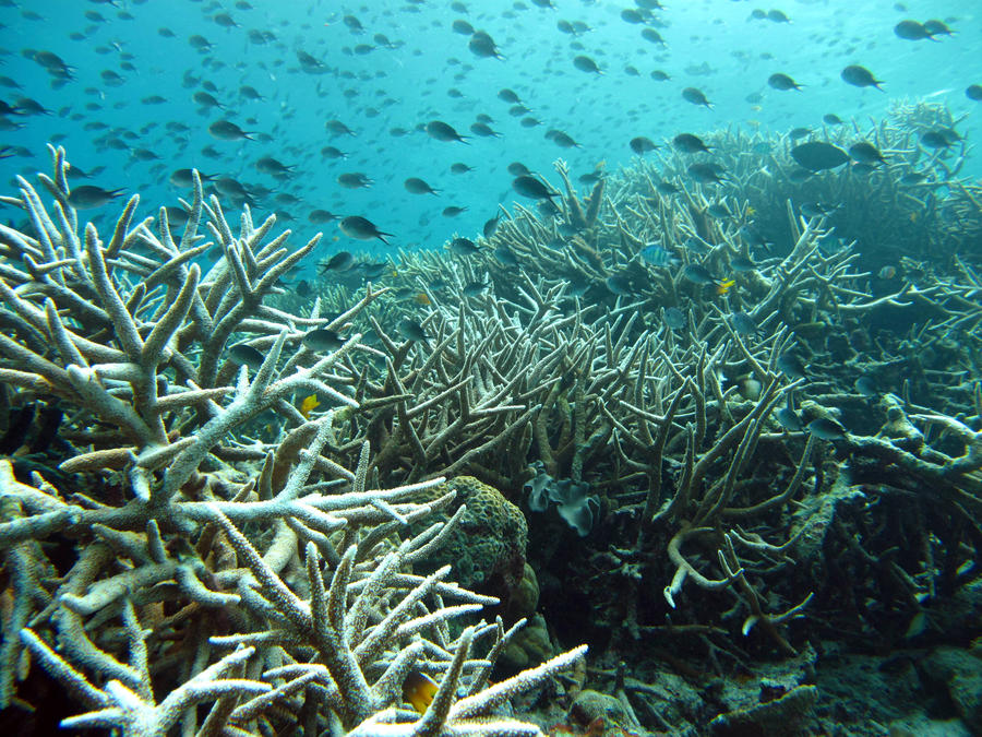 На Карибских островах исчезло 80% коралловых рифов