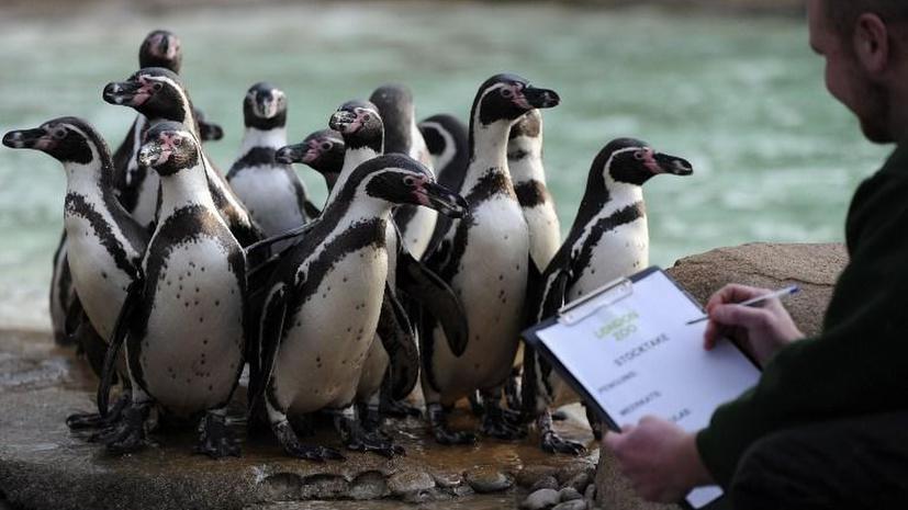 Перуанским пингвинам грозит полное уничтожение