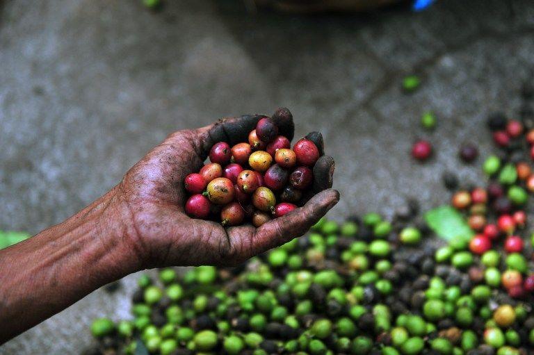 Кофейная ржавчина разрушает экологию и экономику Гватемалы