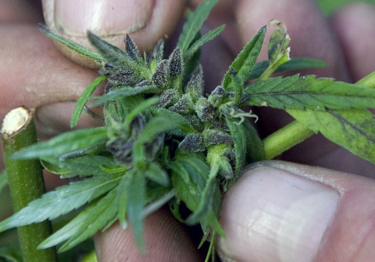 Американские родители все чаще лечат детей марихуаной