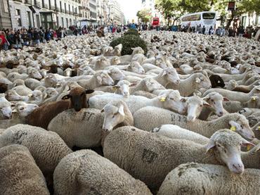 Пастухи провели через центр Мадрида более 2 тыс овец, отдав дань древней традиции