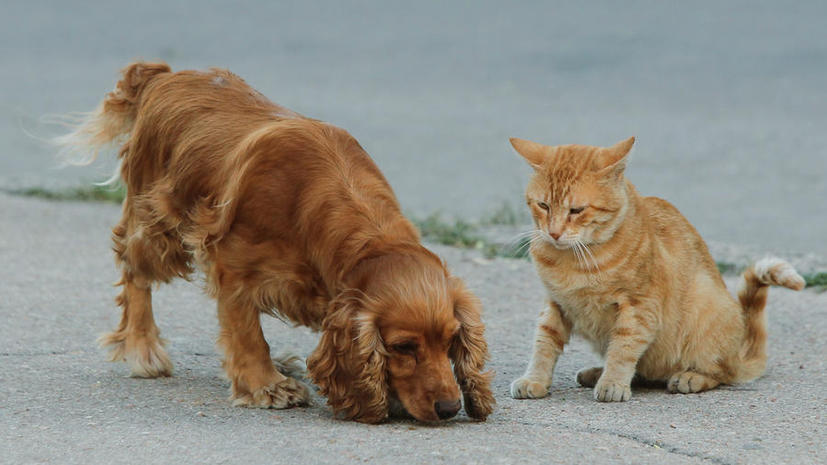 Кота спасли от отравления, перелив ему собачью кровь