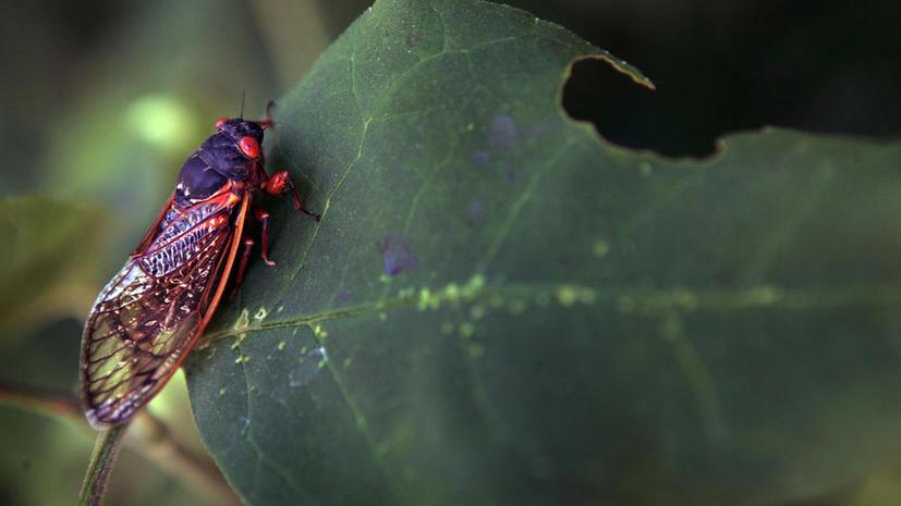 Штат Коннектикут переходит на диету из цикад