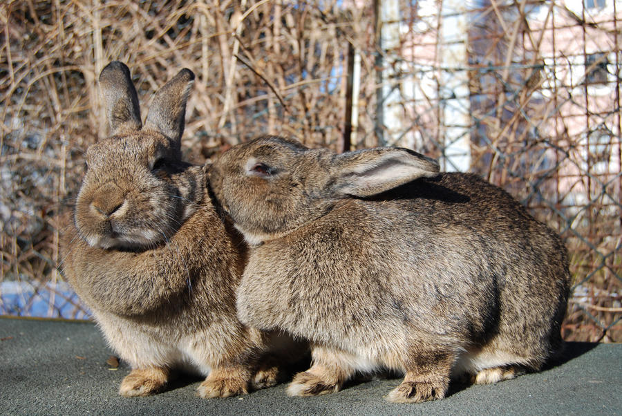 Прожорливые кролики проели шотландский остров Канна
