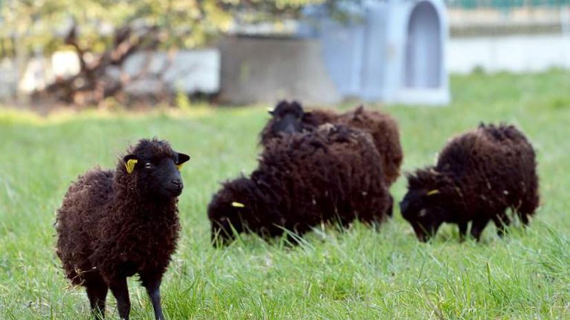 Париж нашел бесплатных газонокосильщиков – это овцы