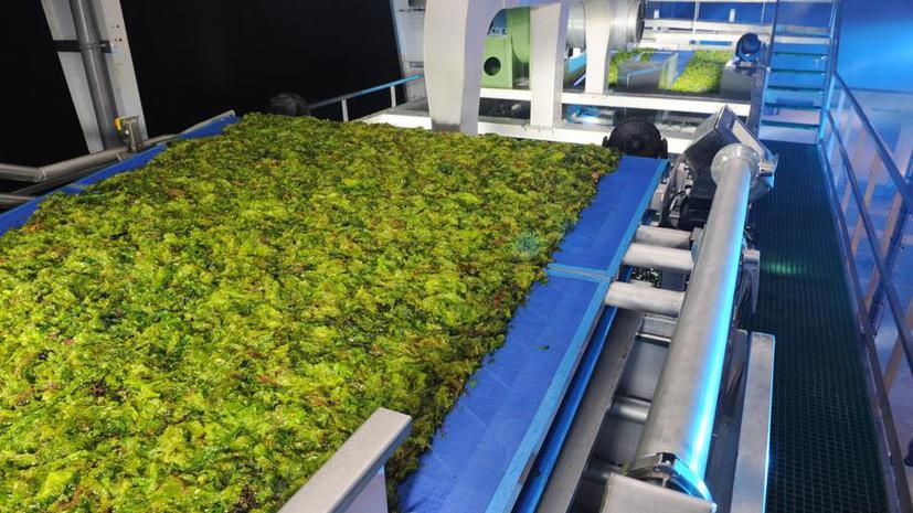 Учёные научились создавать сырую нефть из водорослей всего за час