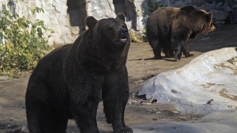 Бурые медведи спасут от вымирания своих белых сородичей благодаря суррогатному материнству