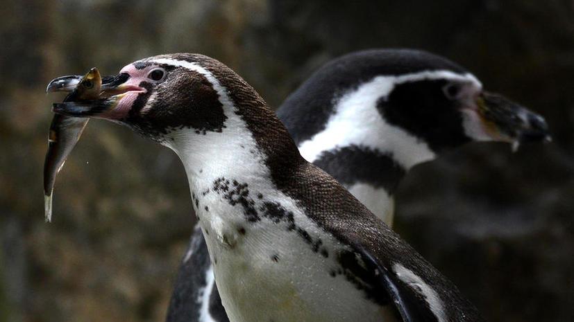 Исследование: Инфекции, занесённые туристами, могут стать причиной гибели пингвинов в Антарктике