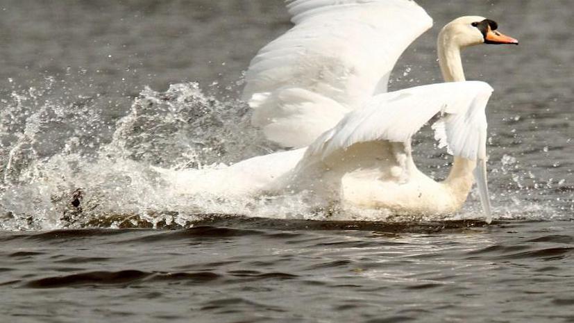 Власти Нью-Йорка собираются уничтожить белых лебедей