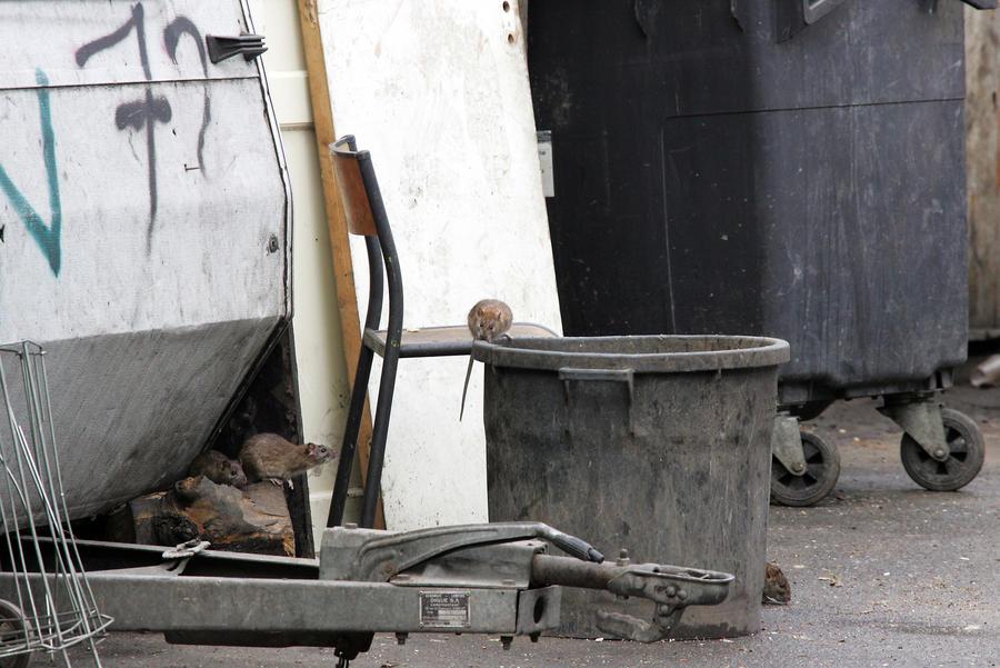 СМИ: Крыс в Нью-Йорке стало больше, чем людей