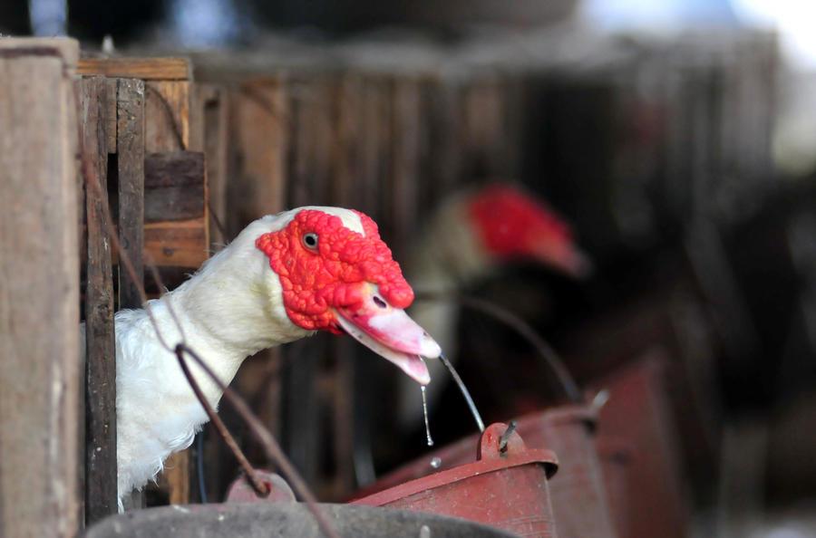 Птичий грипп разоряет китайский бизнес