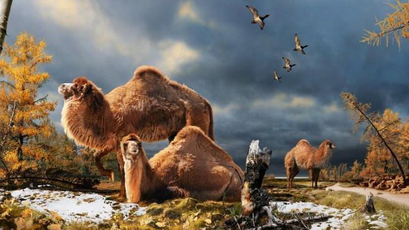 Останки древнего верблюда обнаружены в канадской Арктике