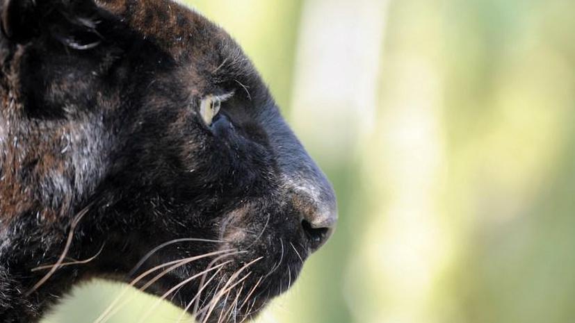 В Испании охотятся за неуловимой чёрной пантерой