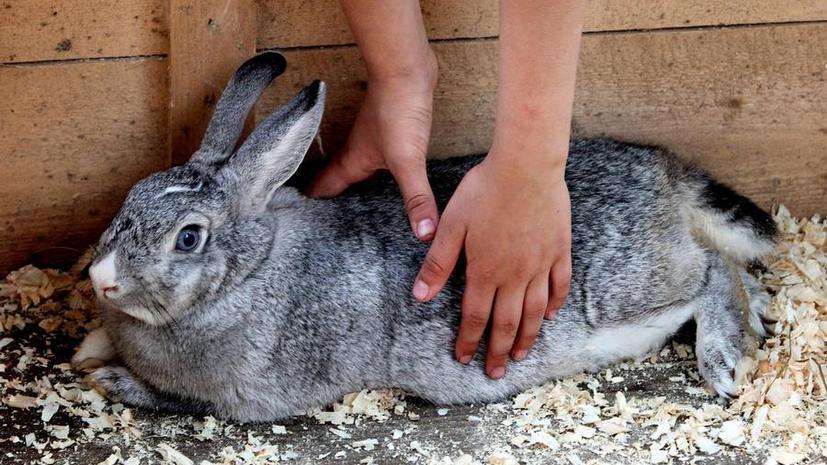 В США учитель убил и освежевал кролика на глазах у учеников