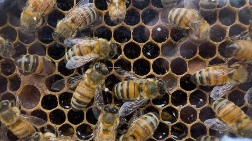 Табачный вирус стал причиной массового мора пчёл в США