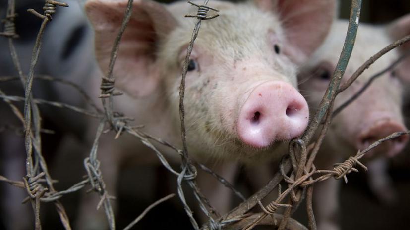 Армия Великобритании продолжит тренироваться в стрельбе на свиньях