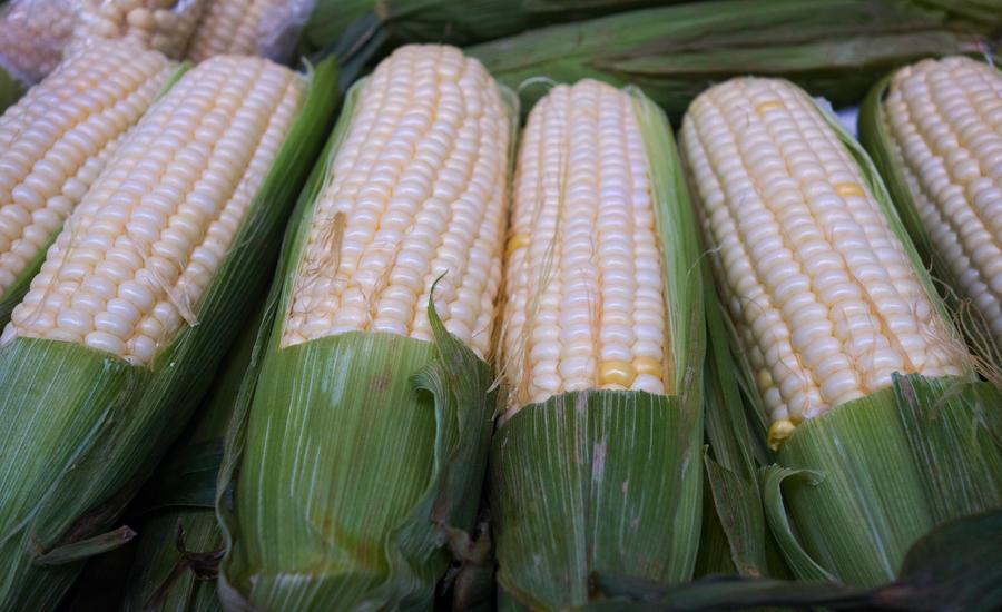 США из-за скандала с ГМО лишились 85% экспорта кукурузы в Китай