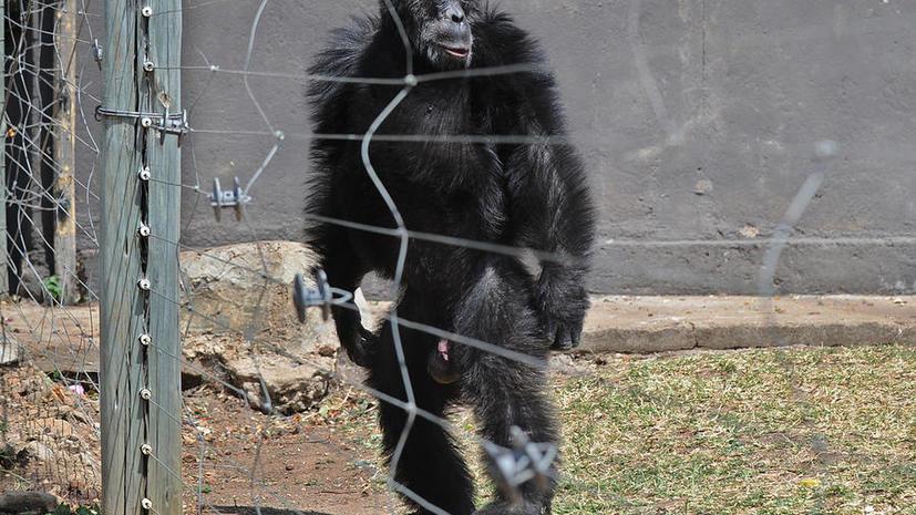 Сделать из обезьяны человека не удалось: суд Нью-Йорка отказался уравнять шимпанзе и людей в правах