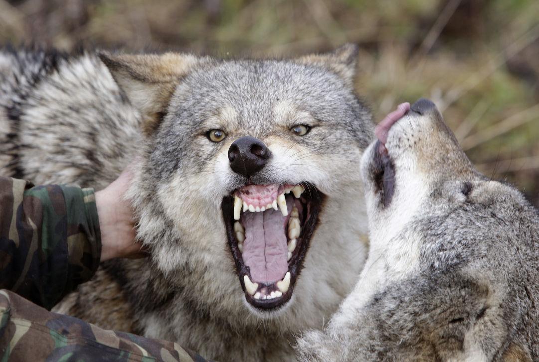 Французских волков научат не убивать овец