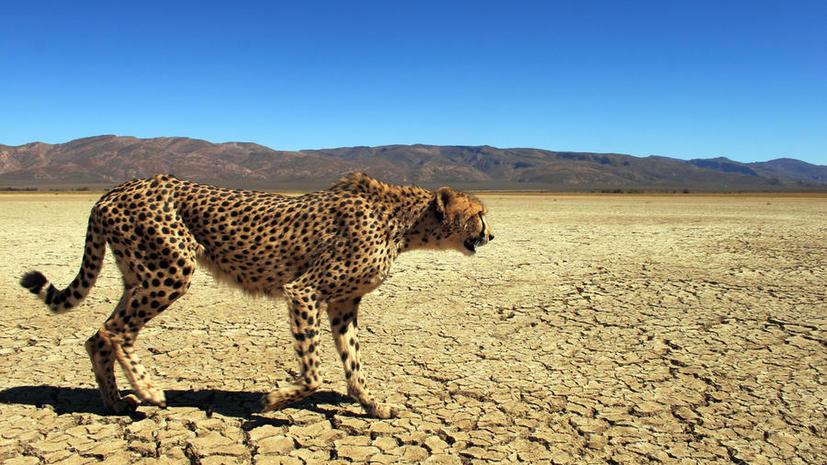 К 2030 году гепарды могут исчезнуть с лица земли