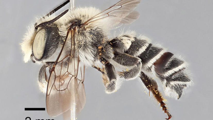 В Техасе обнаружили пчелу-гурмана Мегахилида Хомского