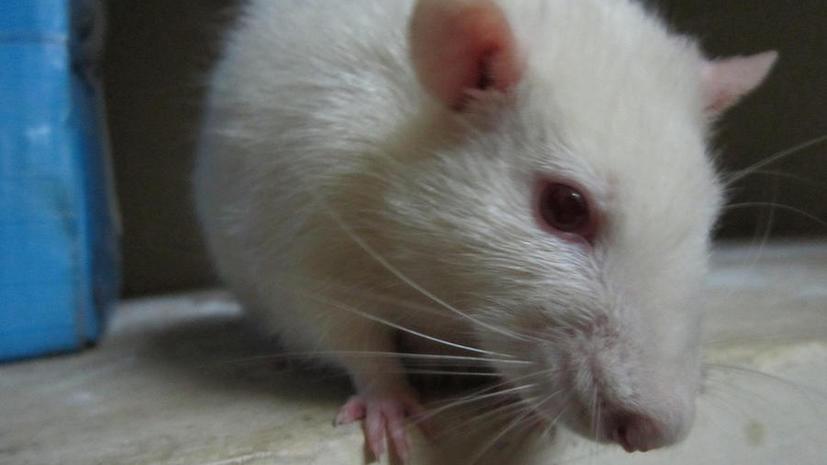 Ученым удалось вживить человеческие клетки в сердце мыши