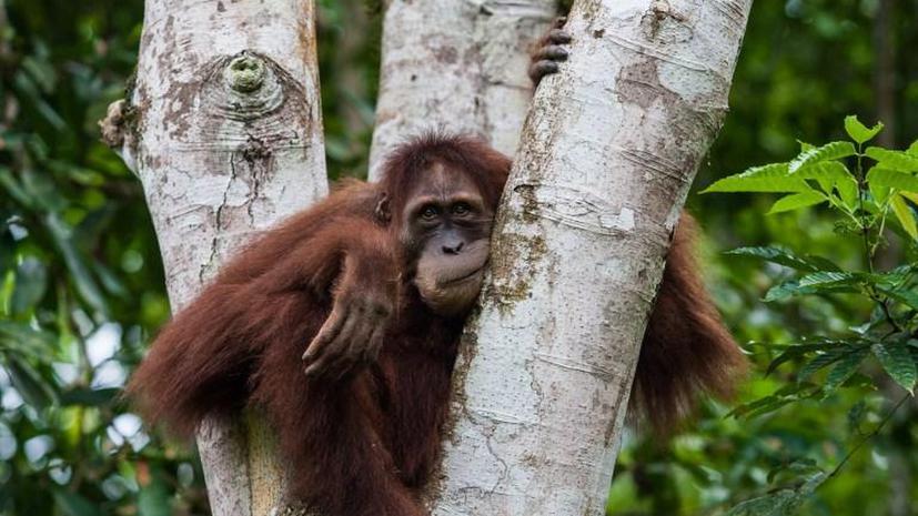Британскую девочку разлучат с лучшей подругой-орангутангом