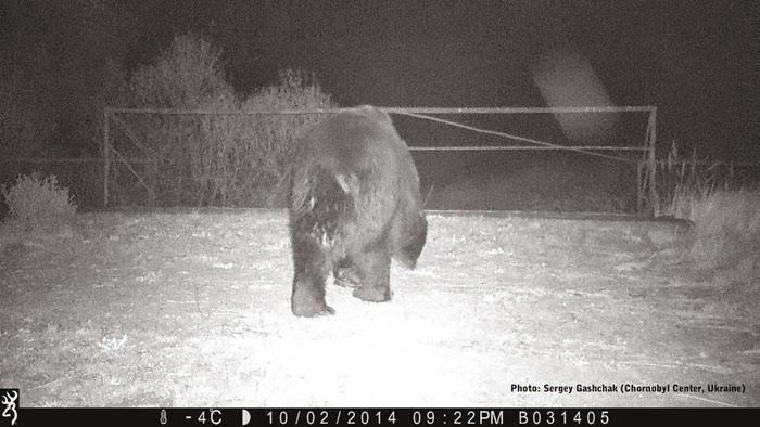 СМИ: В Чернобыль вернулись бурые медведи