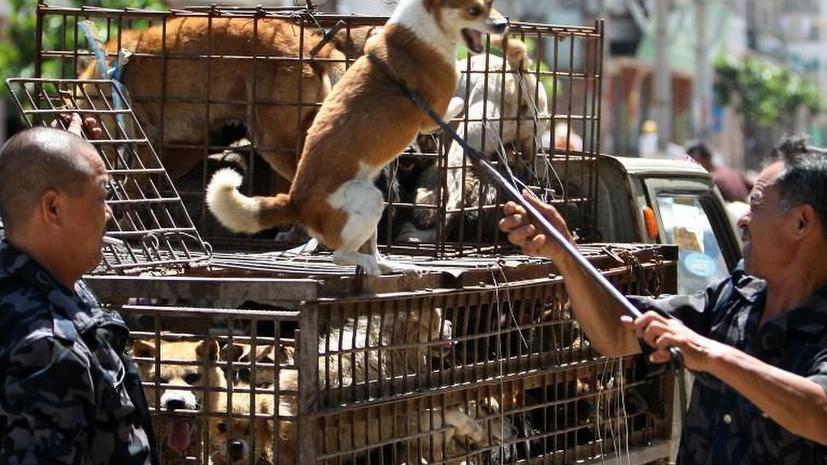 Азиатские контрабандисты жестоко пытают собак для улучшения вкуса мяса