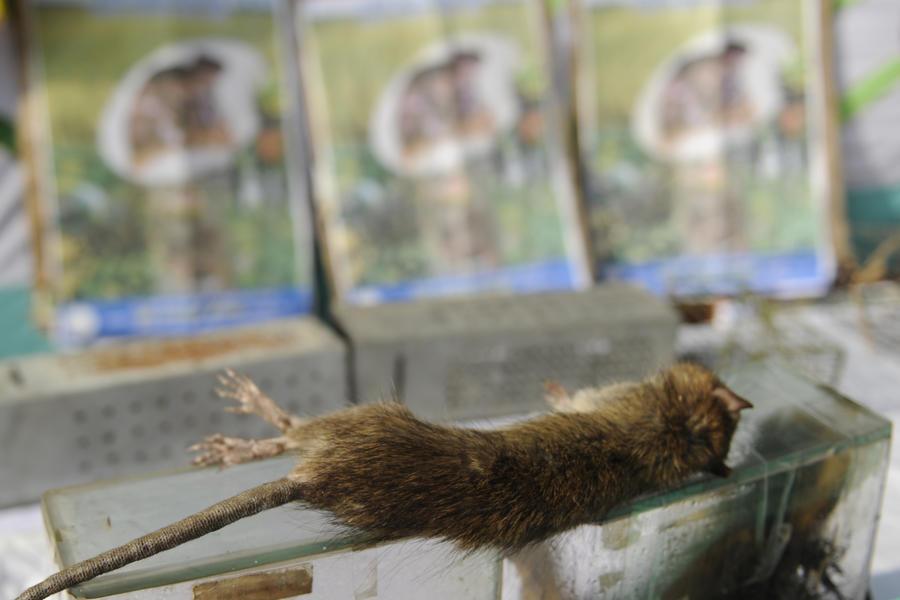На авиарейсах «Россия-Китай» пассажиров могут кормить крысиным мясом