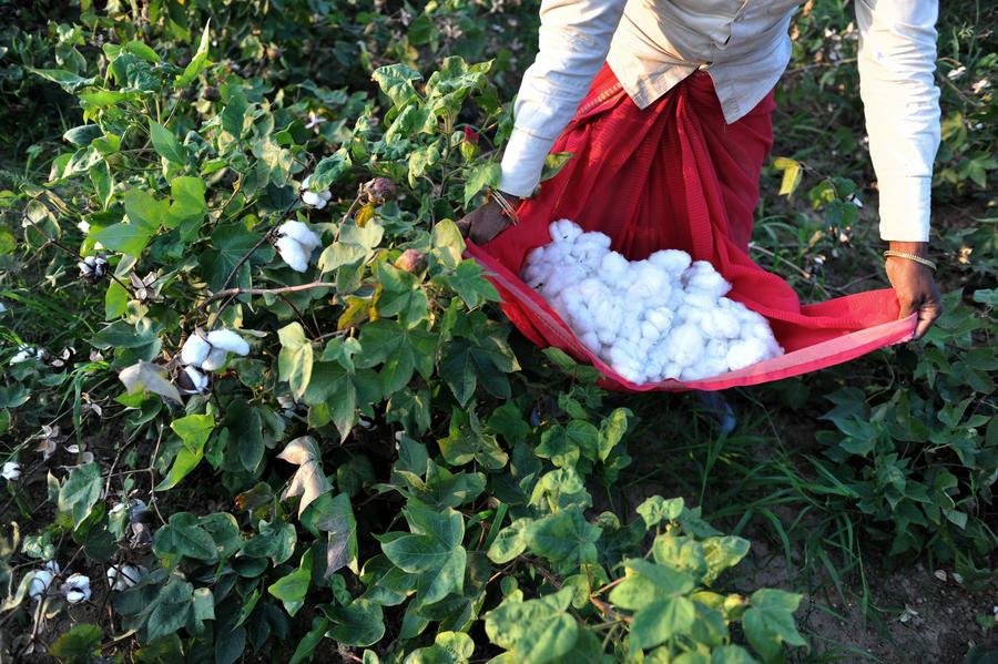 Индийские фермеры винят ГМО в эпидемии самоубийств