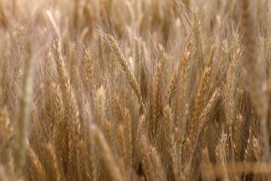 Учёные из Кембриджа создали высокоурожайную пшеницу