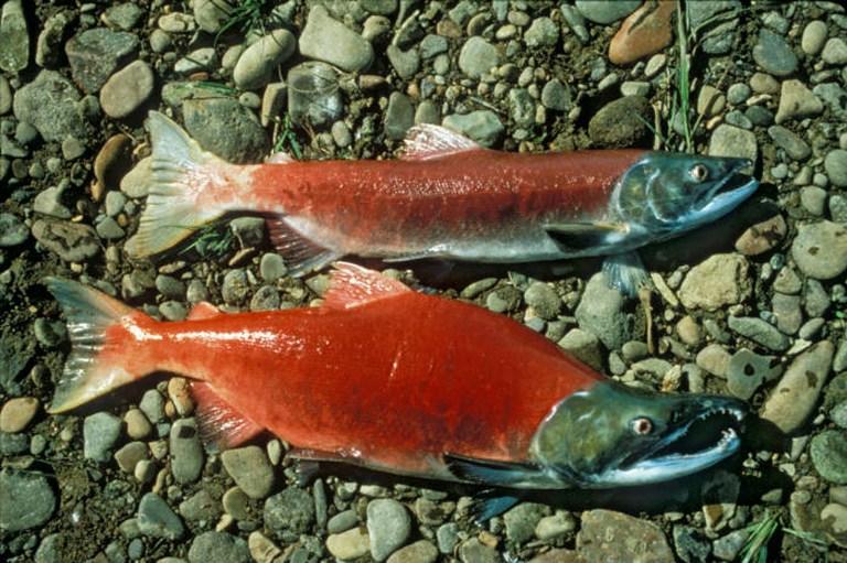 Генномодифицированный лосось безопасен для здоровья - эксперты